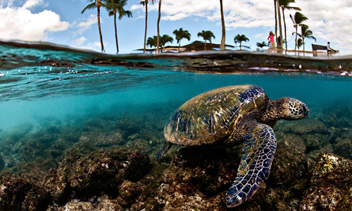 green-sea-turtle-hawaii-271432-137135835