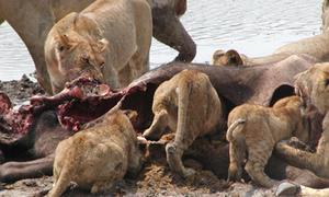 Bầy sư tử đói xâu xé con trâu mồi