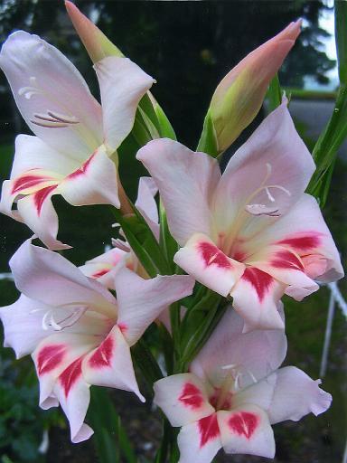 gladiolus-585648-1372712524_500x0.jpg