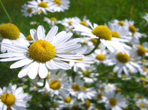 daisies1-306327-1372701842_500x0.jpg