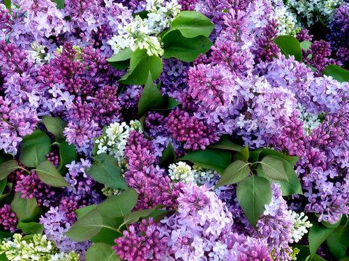 purple-option-1-870629-1372656484_500x0.