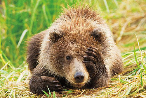 animal-antics-winner--grizzly-bear-cub-9