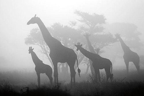 art-in-nature-highly-honored--giraffa-ca