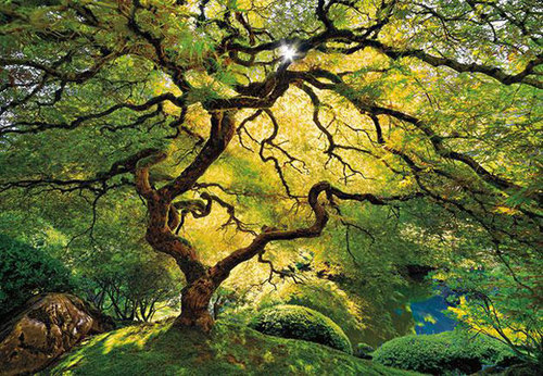 plant-life-winner--japanese-maple-929808