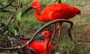 Ngao du khắp chốn ở rừng già Amazon
