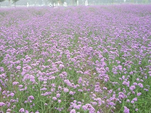 Từ tháng 7  9 là thời điểm những cánh đồng oải hương nhuộm sắc tìm cùng hơn 60 loài hoa khác nở rộ ở trang trại Lavender Dreamland, cách thủ đô Bắc Kinh khoảng hơn 1h đi xe.