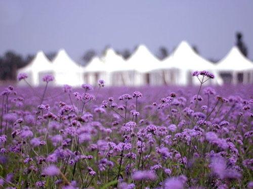 Đến đây, bạn có cảm giác như lạc vào miền Provence xa xôi của nước Pháp với cánh đồng bạt ngàn sắc tím đẹp dịu dàng, say đắm lòng người của hoa oải hương.