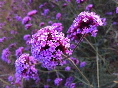 Cảnh tượng càng rực rỡ hơn khi hoàng hôn buông xuống trên những cánh đồng hoa tím biếc tại đây.