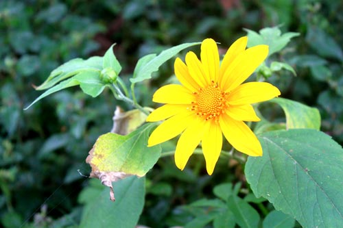 Những cánh hoa màu vàng tràn đầy sức sống mãnh liệt như tình yêu chung thủy của nàng H'limh.