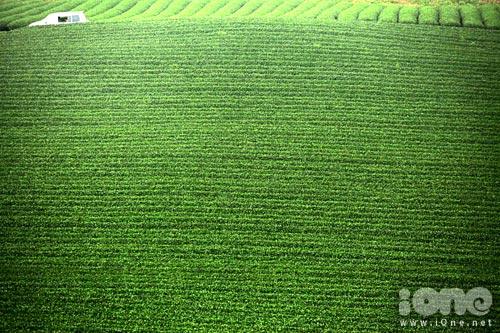 Nhìn từ trên cao, các nương chè như một thảm cỏ xanh mượt.