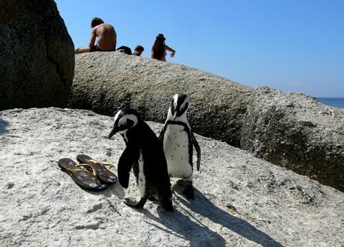 Hai chú chim cánh cụt tò mò bên những vật dụng của con người.