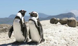 Thiên đường nhiệt đới cho những bé cánh cụt đáng yêu