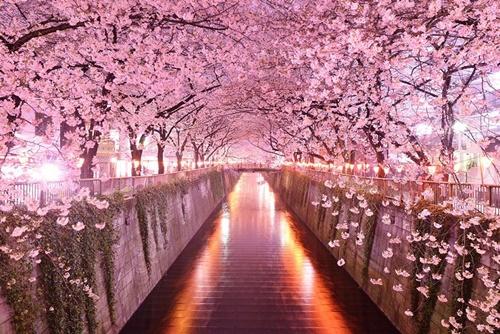 Đường hoa anh đào ở Nhật Bản.