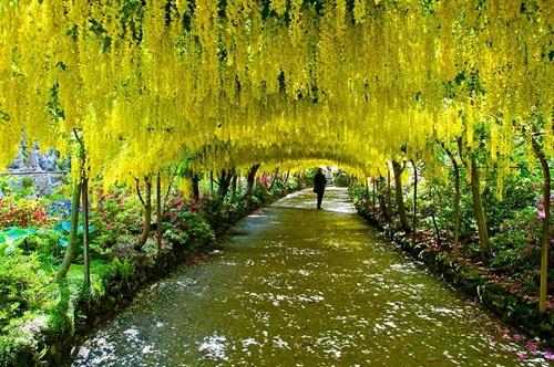 Đường hầm hoa Laburnum trong khu vườn Bodnant (Anh).