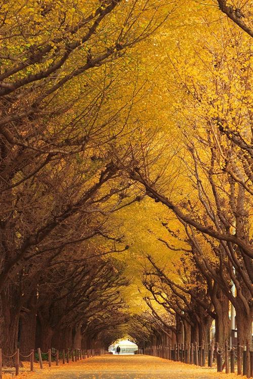 Đường cây bạch quả trong lòng Nhật Bản.