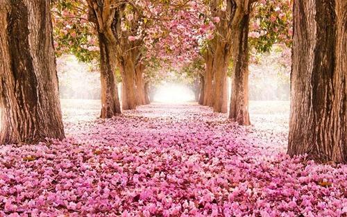 Con đường hoa đào rơi phủ kín.
