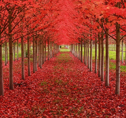 Rừng lá phong ở St Louis, bang Oregon (Mỹ).