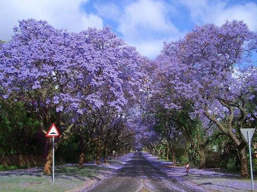 Con đường Jacarandas hay còn gọi là Phượng tím ở Nam Phi.