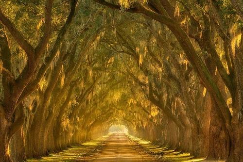 Đường cây sồi vòng quanh con sông Mississippi bên ngoài New Orleans (Loisiana)