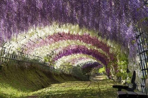Đường hoa wisteria ở Nhật Bản.