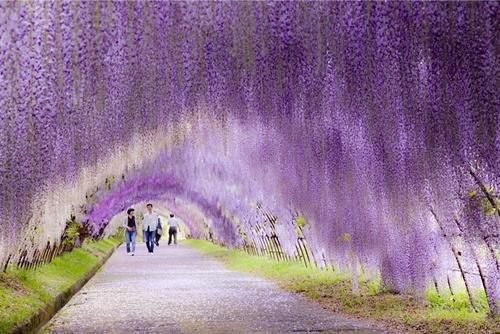 Wisteria - một loại hoa họ đậu nở hoa màu tím rất xinh.
