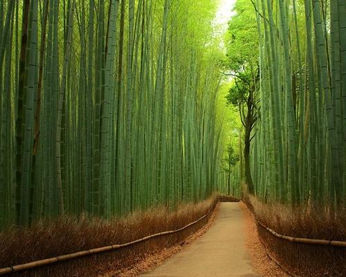 Những con đường mòn chạy xuyên qua rừng trúc Sagano (Arashiyama, Kyoto ) bạt ngàn là một trong những nơi mang lại cho du khách cảm giác yên bình, dễ chịu nhất khi đến Nhật Bản.