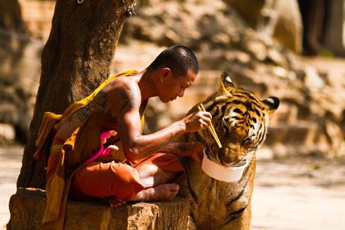 Những chú hổ ngoan ngoãn tại một ngôi chùa ở tỉnh Kanchanaburi (Thái Lan).