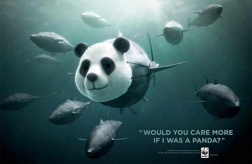 Cá ngừ vây xanh chỉ được chăm sóc, bảo vệ cho đến khi sắp tuyệt chủng như loài gấu?