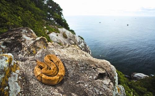 Rắn hiện diện khắp nơi trên hòn đảo, đặc biệt là loài rắn hổ đầu vàng, có nọc độc gấp 5 lần so với rắn trên đất liền. Ảnh: viajeaqui.abril.
