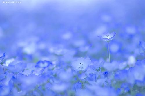 nemophilas-field-hitachi-seasi-2426-2623