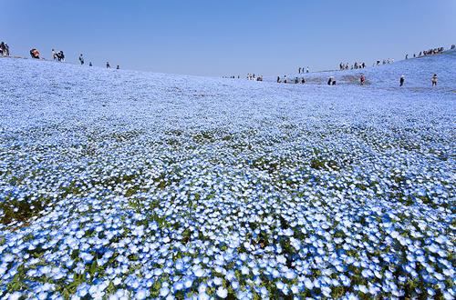 nemophilas-field-hitachi-seasi-4498-2263