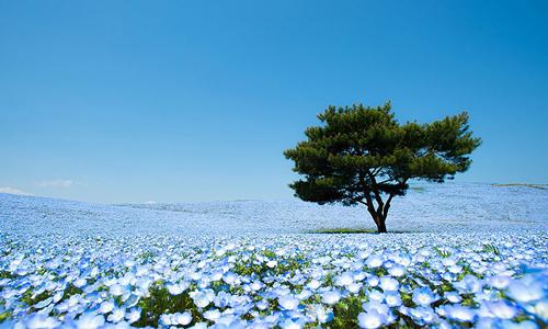 nemophilas-field-hitachi-seasi-4911-1562