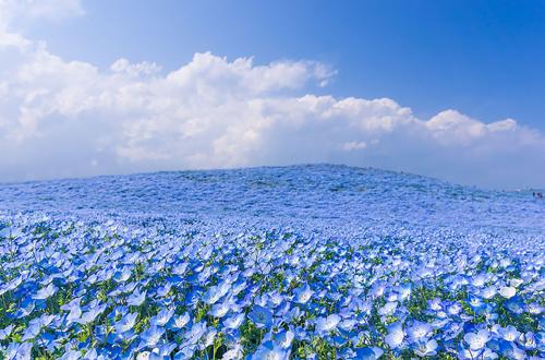 nemophilas-field-hitachi-seasi-7582-5914