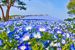 nemophilas-field-hitachi-seasi-3150-4013