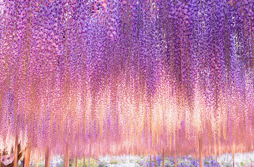 oldest-wisteria-tree-ashikaga-1820-2547-