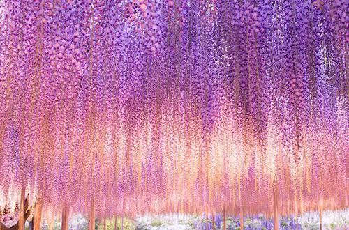 oldest-wisteria-tree-ashikaga-1820-2547-