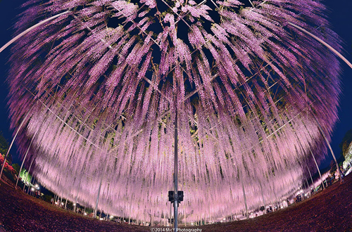 oldest-wisteria-tree-ashikaga-2568-1145-