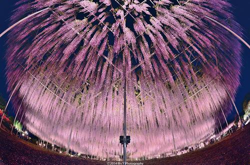 oldest-wisteria-tree-ashikaga-2568-1145-