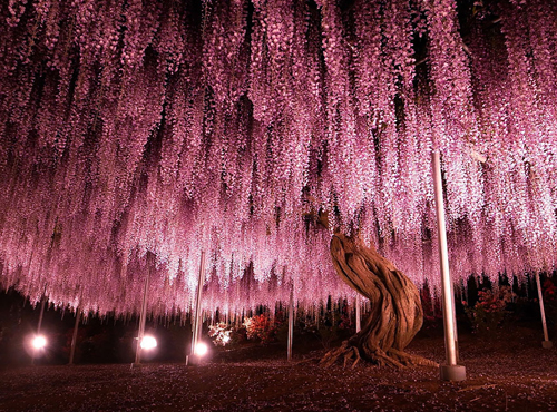oldest-wisteria-tree-ashikaga-2707-7232-