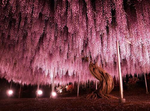 oldest-wisteria-tree-ashikaga-2707-7232-