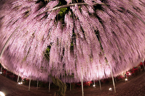 oldest-wisteria-tree-ashikaga-3500-2398-