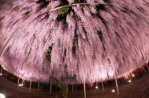 oldest-wisteria-tree-ashikaga-3500-2398-