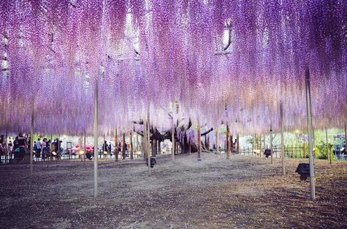 oldest-wisteria-tree-ashikaga-3715-1732-