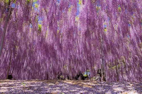 oldest-wisteria-tree-ashikaga-6041-1165-