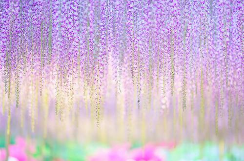 oldest-wisteria-tree-ashikaga-6176-5482-