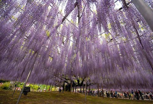 oldest-wisteria-tree-ashikaga-8961-6726-