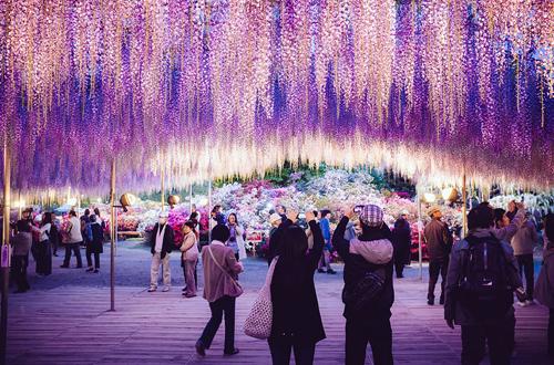 oldest-wisteria-tree-ashikaga-9497-2682-