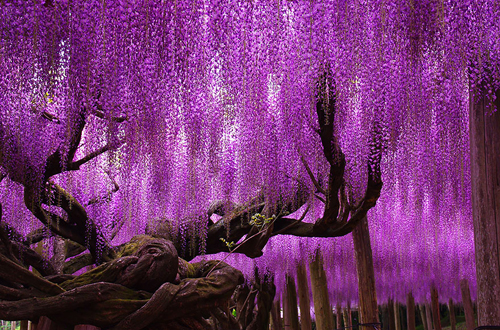 oldest-wisteria-tree-ashikaga-9533-7151-