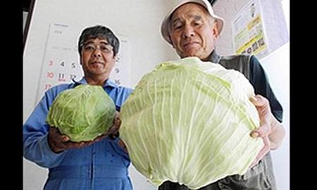 Fukushima-mutant-cabbage-4844-1407858718