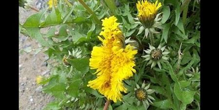 Fukushima-mutant-flower-3418-1407858719.